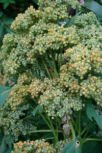 Quinoa plant - photo by Christian Guthier from Flickr