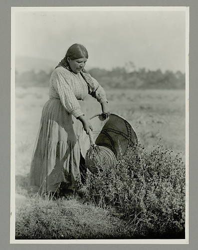 Hopland Pomo woman collecting seeds with a seed-beater