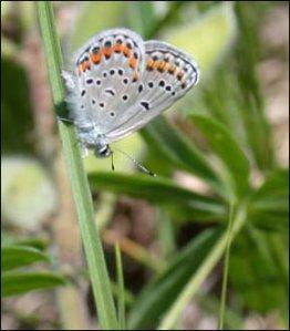 Karner blue butterfly - USFWS