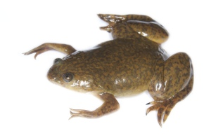 African clawed frog was used in human pregnancy tests. Creative Commons