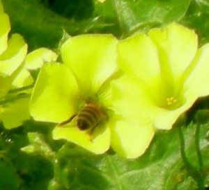 Honeybee on oxalis flower, another non-native plant being eradicated with herbicide.