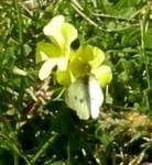 """""""Five Reasons it's Okay to Love Oxalis – and Stop Poisoning It"""" (5/6)"""
