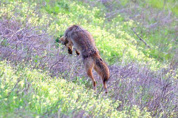 coyote pouncing in oxalis field.  Copyright Janet Kessler