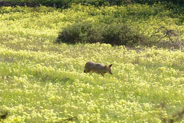 coyote in oxalis field.  Copyright Janet Kessler
