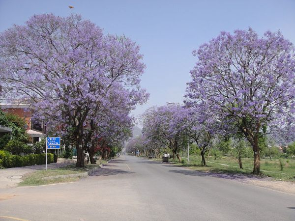 Jacaranda street trees in bloom in Pakistan.  Creative Commons - Share Alike
