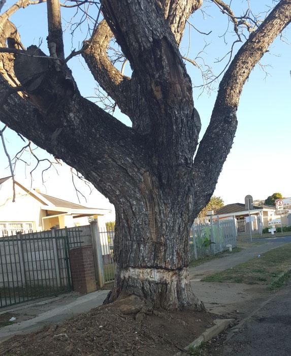Ring-barked (AKA girdled) jacaranda tree in South Africa.