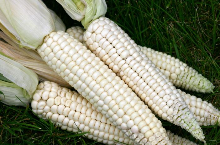 Rare ears of organic corn.  Courtesy A Really Small Farm