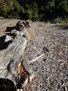 Eucalyptus logs line the roads where UC Berkeley has destroyed trees. Do they look less flammable than living trees?