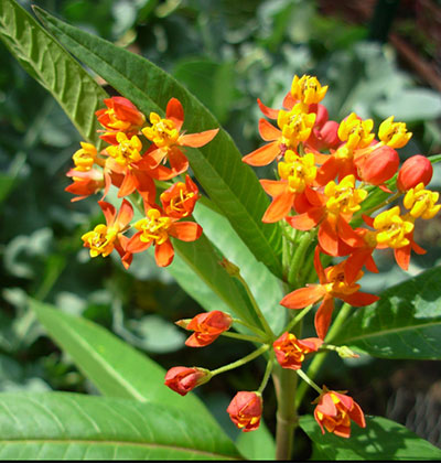 Tropical milkweed is not native to California. (Asclepias curassavica) Creative Commons