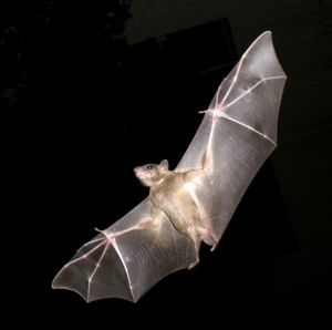 Common fruit bat. This photo makes it clear that the wings of a bat are also its hands. Creative Commons