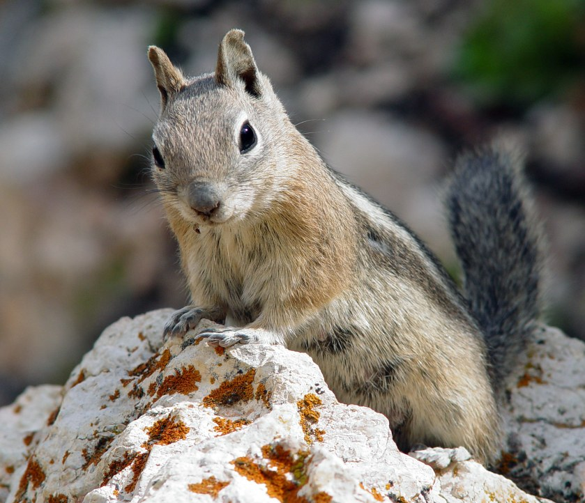 Golden mantled ground squirrel, Western North America. Prefers to eat mushrooms and truffles.