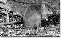 Long-footed potoroo is an Australian marsupial that eats primarily mushrooms and truffles.