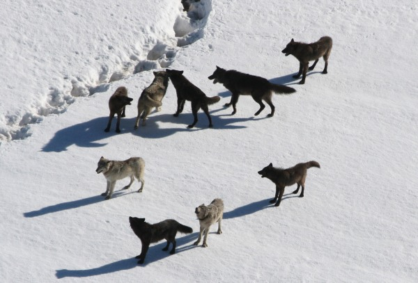 Pack of Gray Wolves, Yellowstone National Park