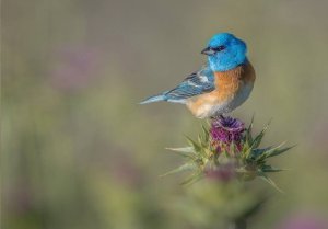 Lazuli bunting at Rancho San Antonio on milk thistle, April 2016. Courtesy Greg Barsh