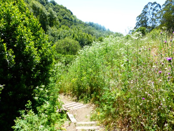 The trail down into the canyon is lined by 8-foot tall poison hemlock at Site 29.