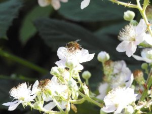 European honeybee on Eurasian Himalayan blackberry, which provides so much food for humans and wild animals. By Bev Jo