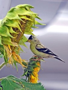 Native Goldfinch with non-native sunflower which provides important seeds for native birds. By Melanie Hoffman.