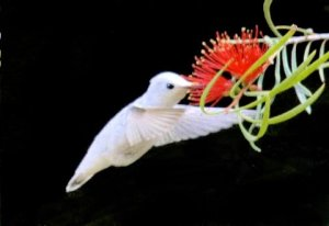 Rare leucistic female Anna's hummingbird, at the Santa Cruz botanical gardens, eating from an Australian Grevillea, June 6, 2016. By Raymond Chu