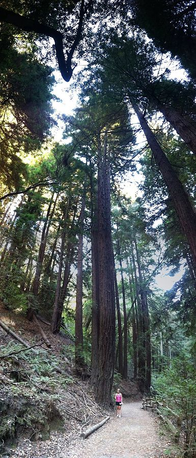 Redwood trees in Oakland. Creative Commons