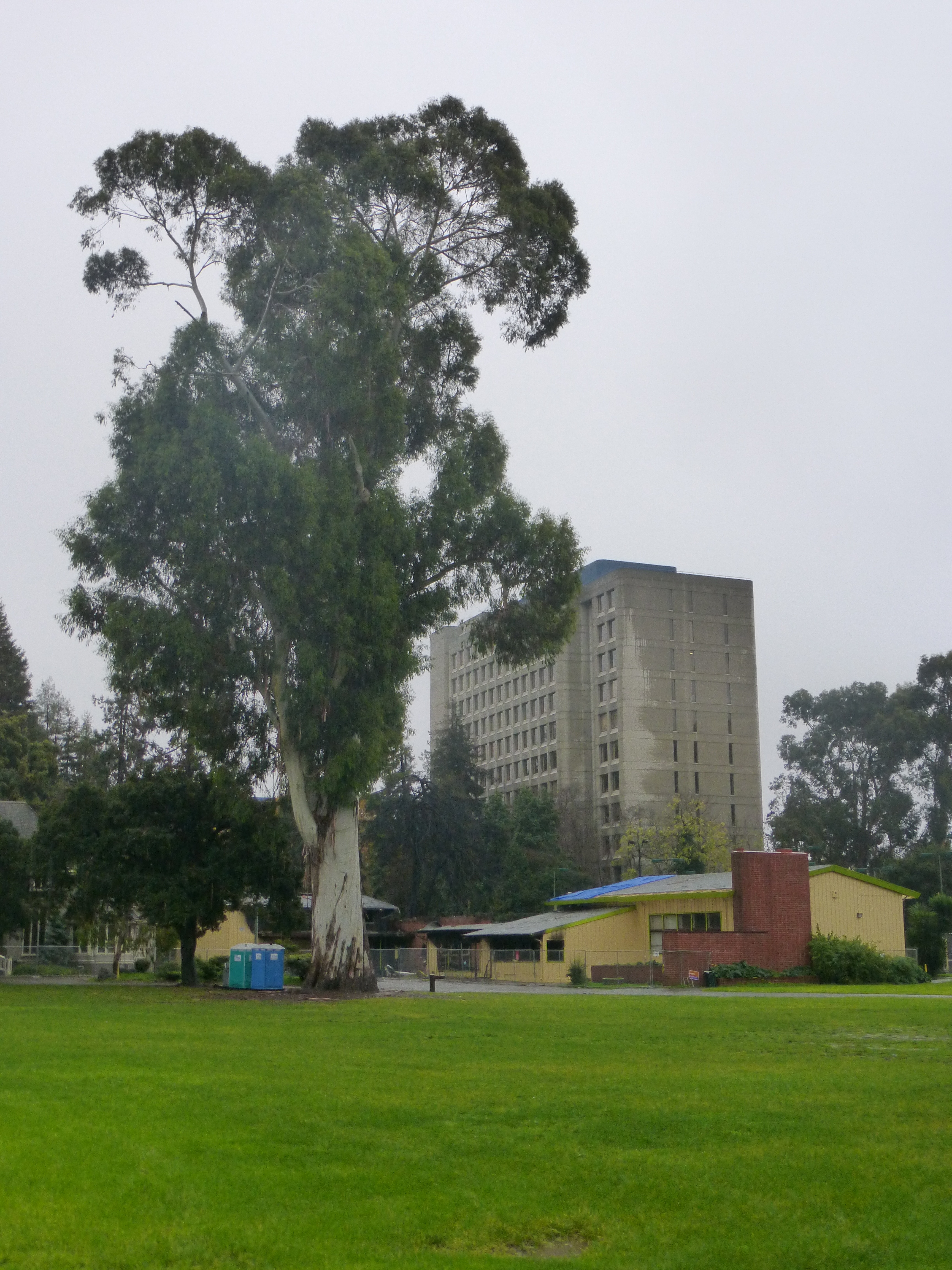 Trees around the Mosswood Recreation Center were not ignited by the fire, including this huge eucalyptus tree.