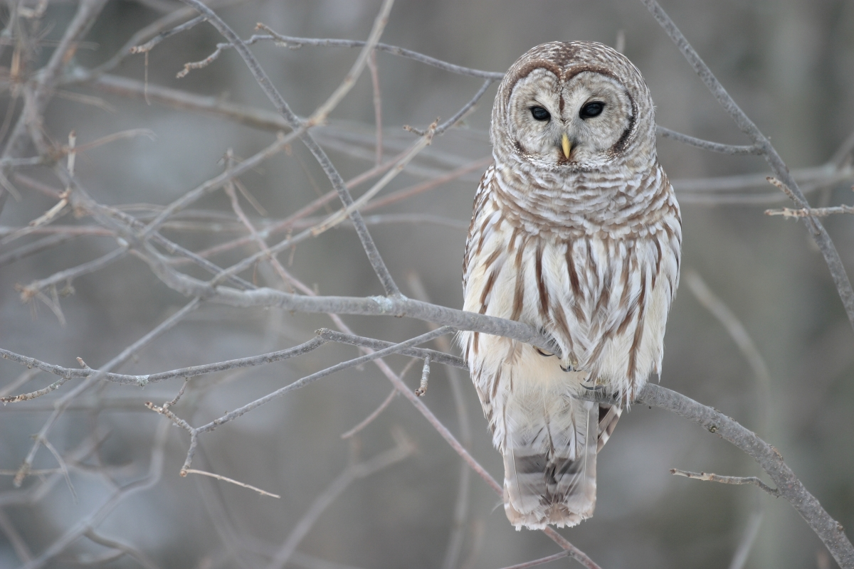 "Barred owls in the cross-hairs of ""restorationists"""