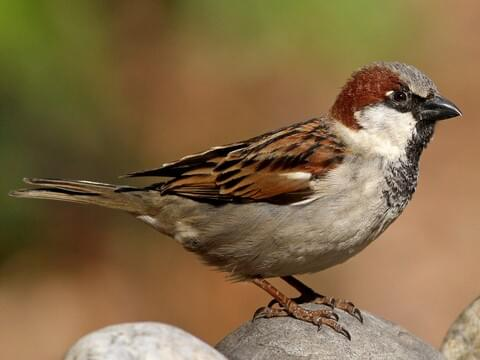 House sparrow Cornell Ornithology Lab